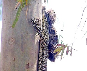 Lace Monitor with Tawny Frogmouth prey