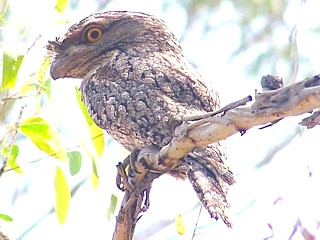 Parent Tawny Frogmouth