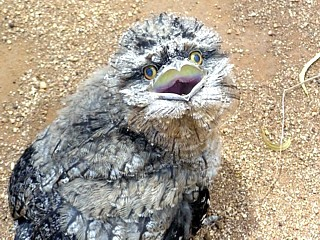 Tawny Frogmouth youngster