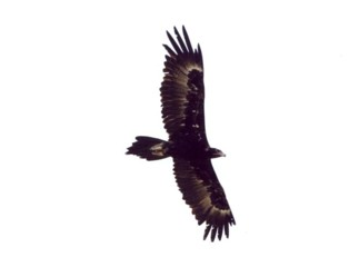 Wedge-tailed Eagle at Abberton