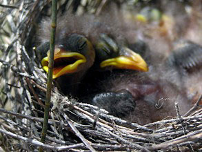 Noisy Miner nestlings