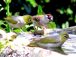 Plum-headed Finch and Silvereyes