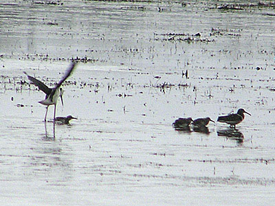 Painted Snipe and Black-winged Stilt