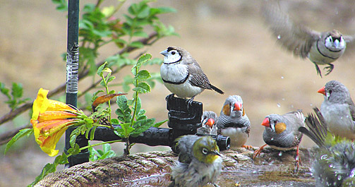 Double-barred Finches, Zebra Finches and Silvereye