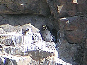 Peregrine Falcon at nest