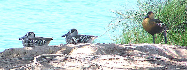 Pink-eared Duck & Wandering Whistling Duck