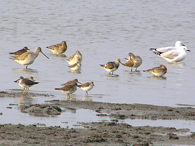 Waders at Thorneside