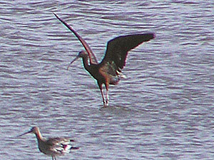 Glossy Ibis and Black-tailed Godwit