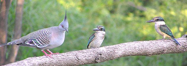 Crested Pigeon and Sacred Kingfishers