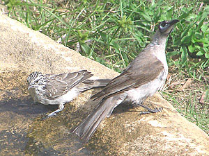 Striped Honeyeater and Little Friarbird