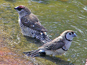 Plum-headed Finch and Double-barred Finch