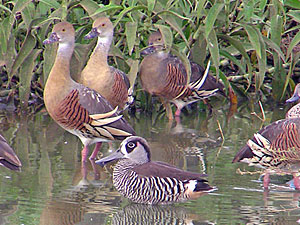Pink-eard Duck with Plumed Whistling Ducks