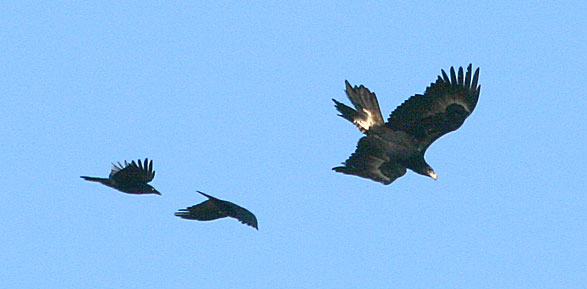 Wedge-tailed Eagle and Torresian Crows