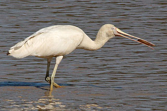 Yellow-billed Spoonbill