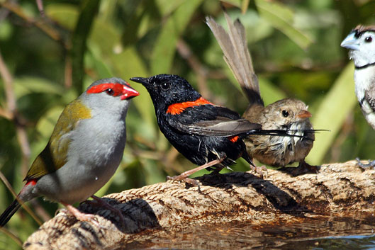 Red-browed Finch, Red-backed Fairy-wren