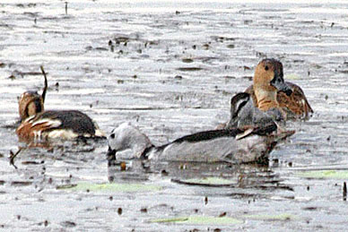 Cotton Pygmy Goose and Wandering Whistling Duck