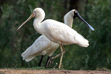 Yellow-billed Spoonbill and Royal Spoonbill