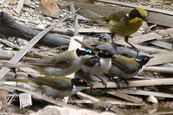 Black-chinned, Yellow-tufted and White-naped Honeyeaters